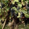 ferrari-pianta-uva