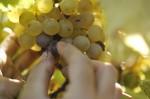 La raccolta del semillon alla Stoppa