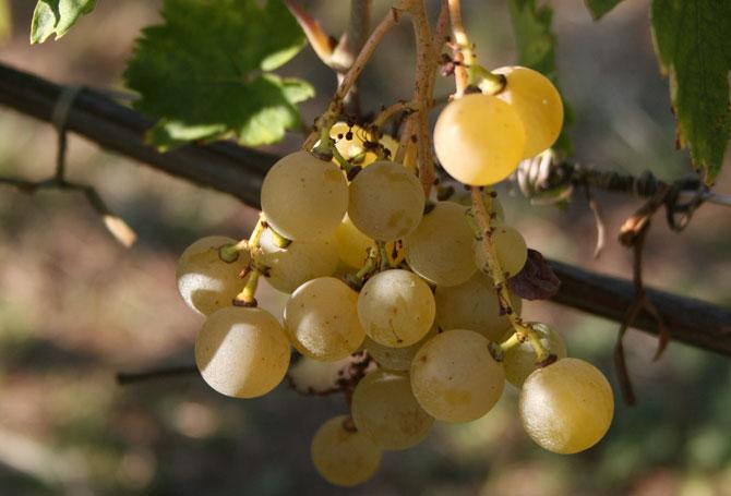La Malvasia di Candia aromatica, affascinante e sconosciuta