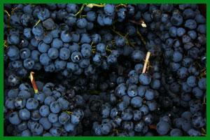 Grappoli d'uva di Gaetano Solenghi - Vini della Val Tidone