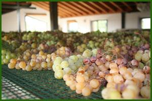 L'appassimento dell'uva presso La Tolara - Val d'Arda