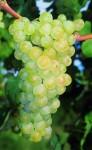 uva-santa-maria