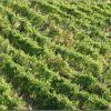 gualdora-vigne